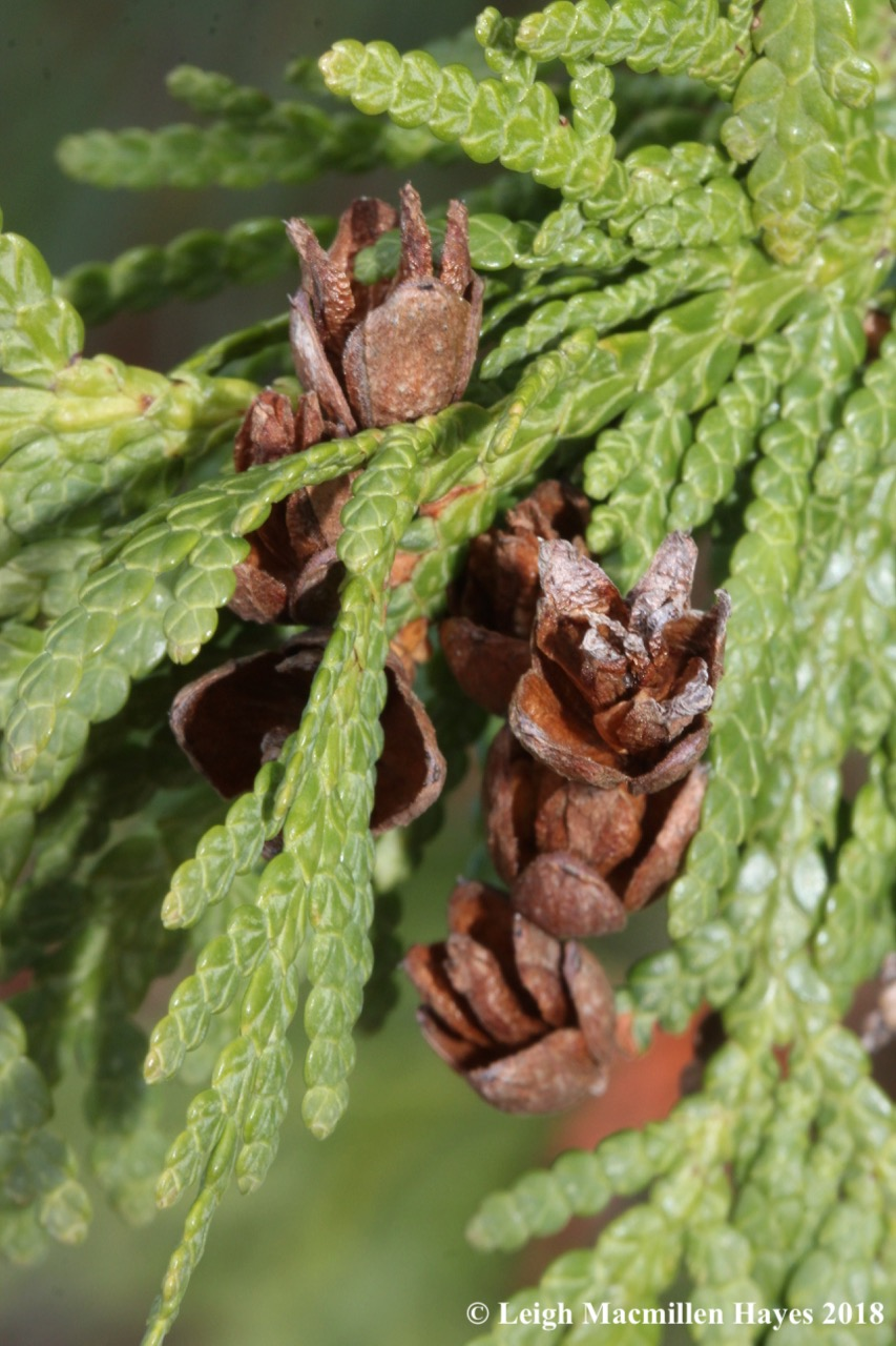 e-Northern white cedar leaves and cones