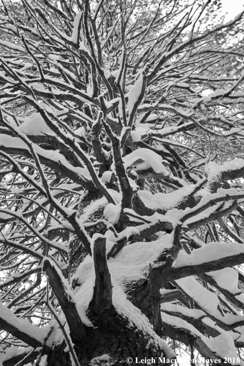 e-pine whorls