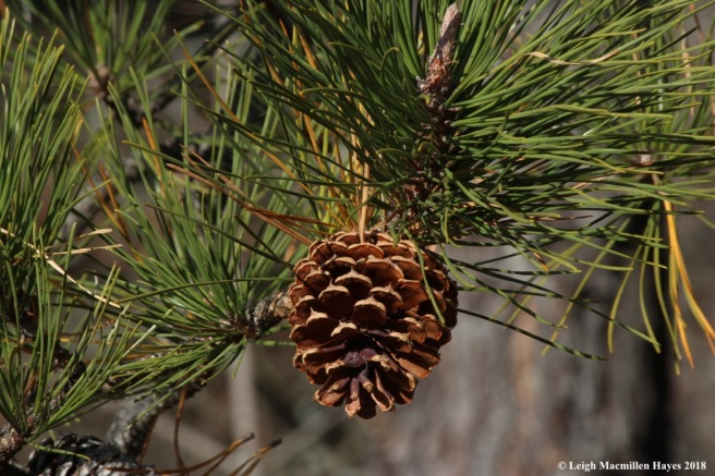 e-pitch pine cone 1