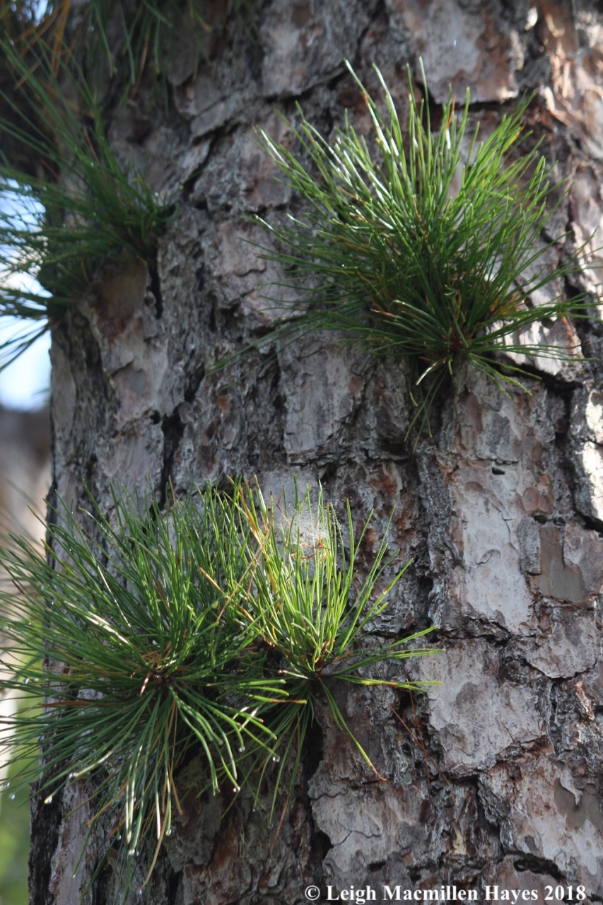 e-pitch pine needles on trunk