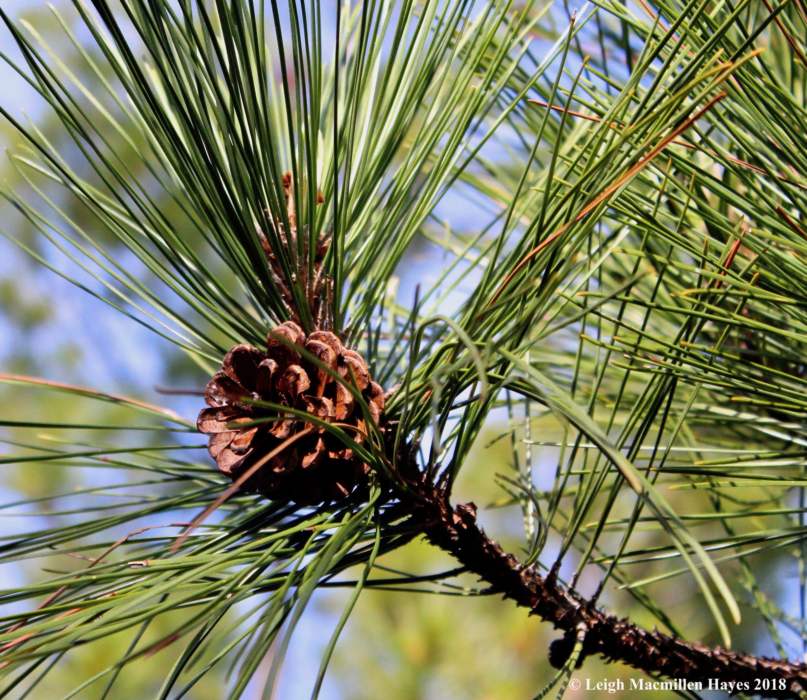 e-red pine cone and needles