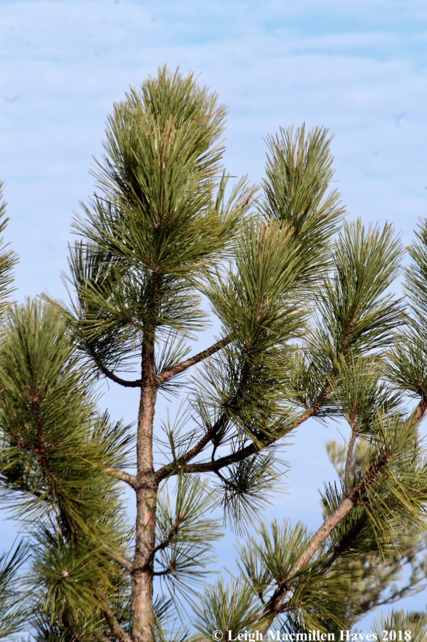 e-red pine needles, chimney sweep