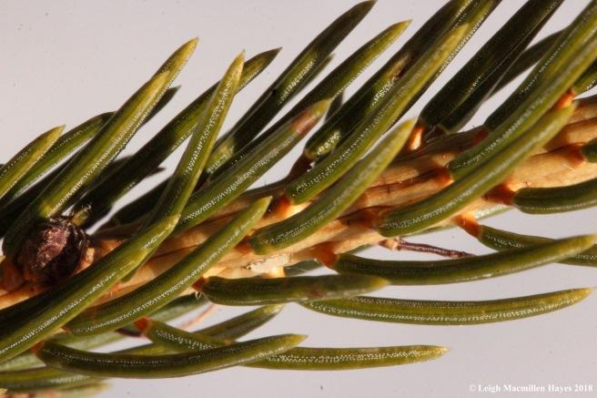 e-spiky spruce