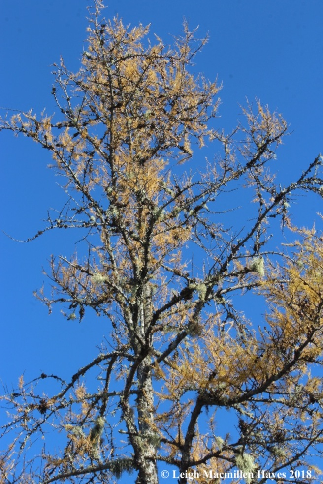 e-tamarack in fall