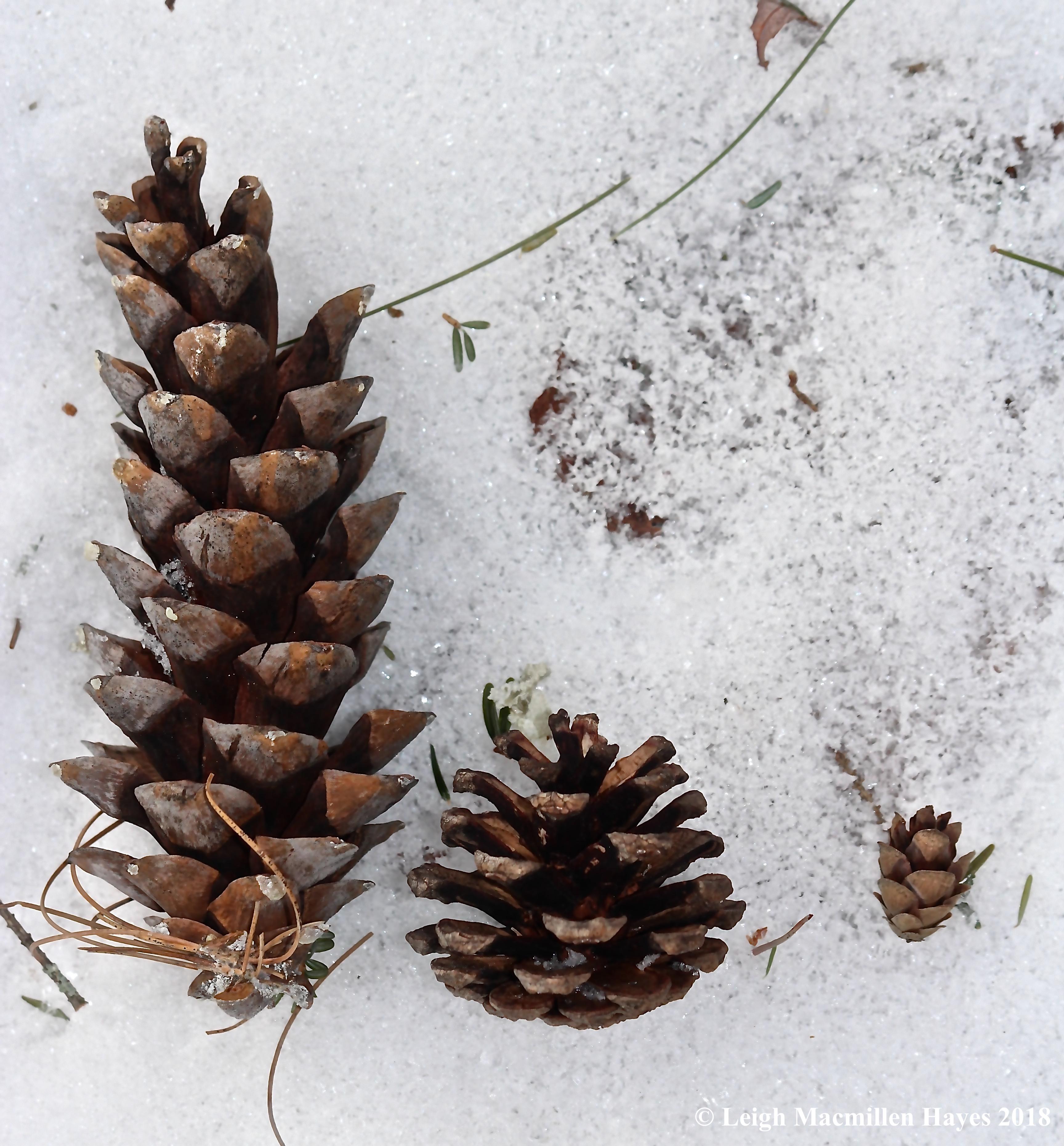 e-white pine cone, red pine cone, hemlock cone
