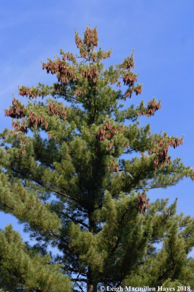 e-white pine with two year old cones