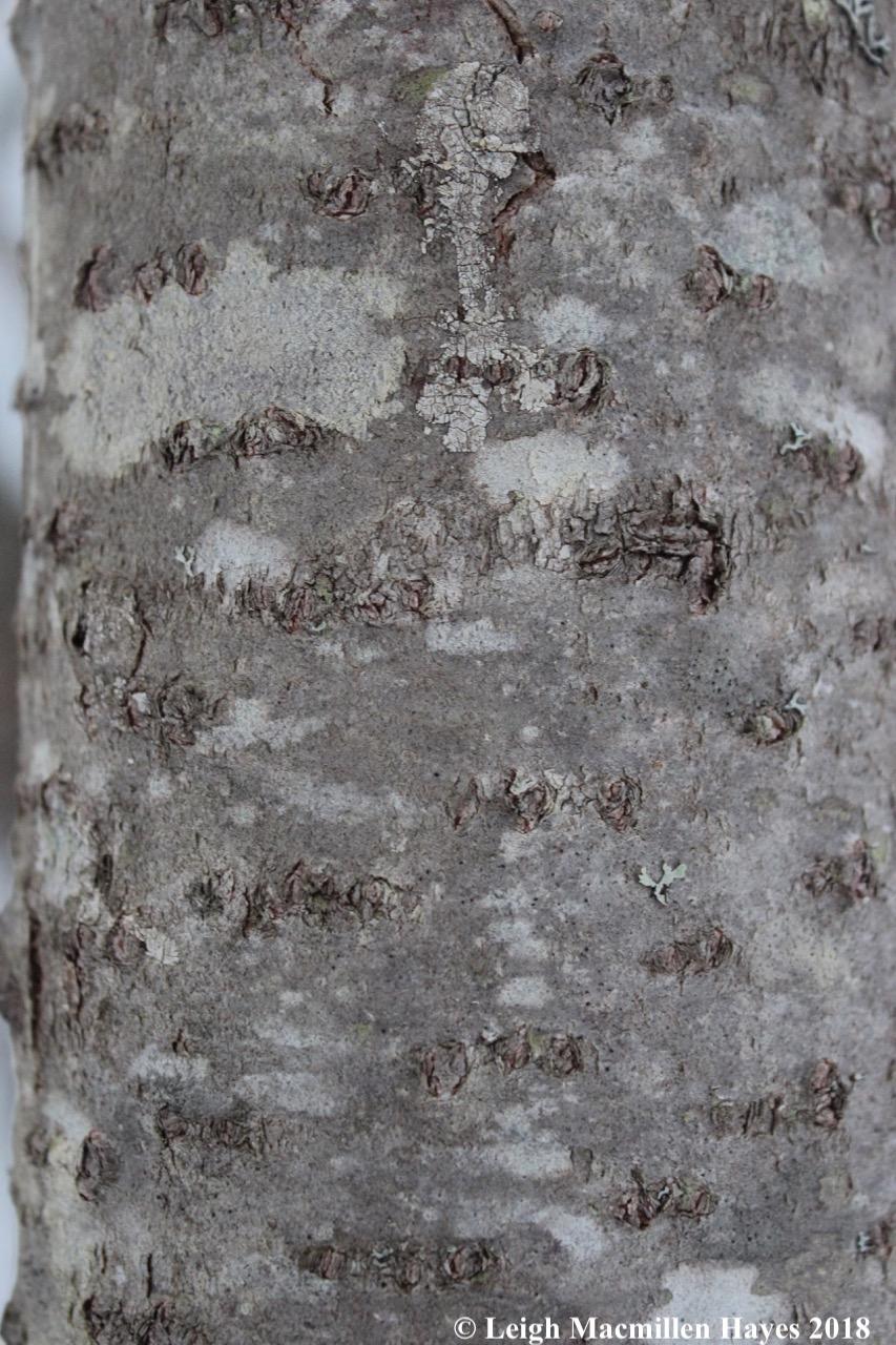 e1-balsam bark