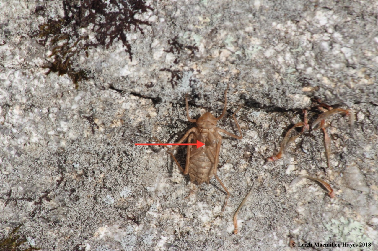 f-dragonfly exuvia 2
