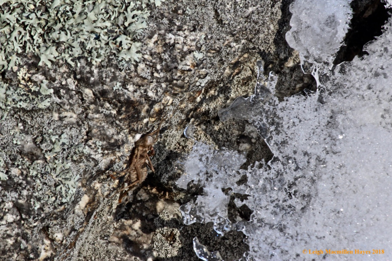 f-dragonfly exuvia, lichen and ice:snow on otter rock