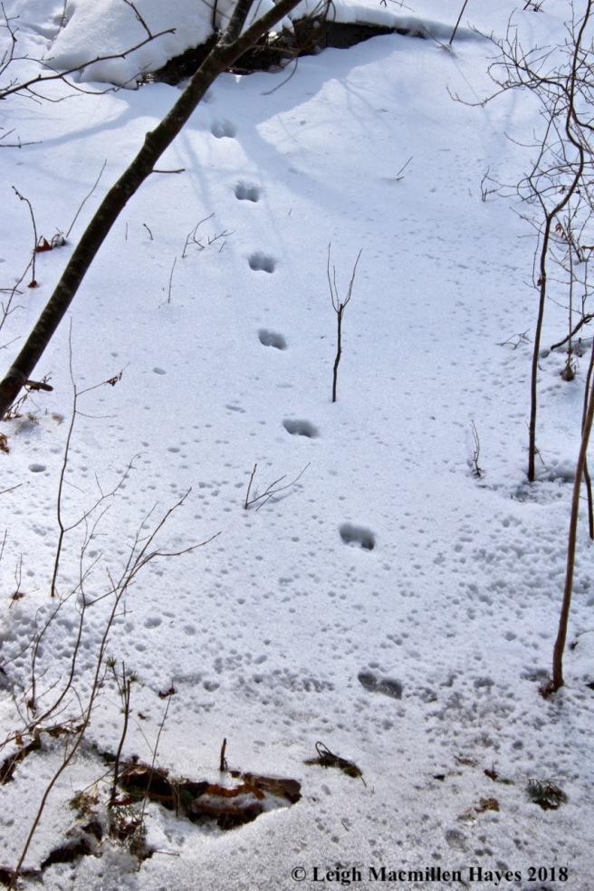 h13-mink tracks