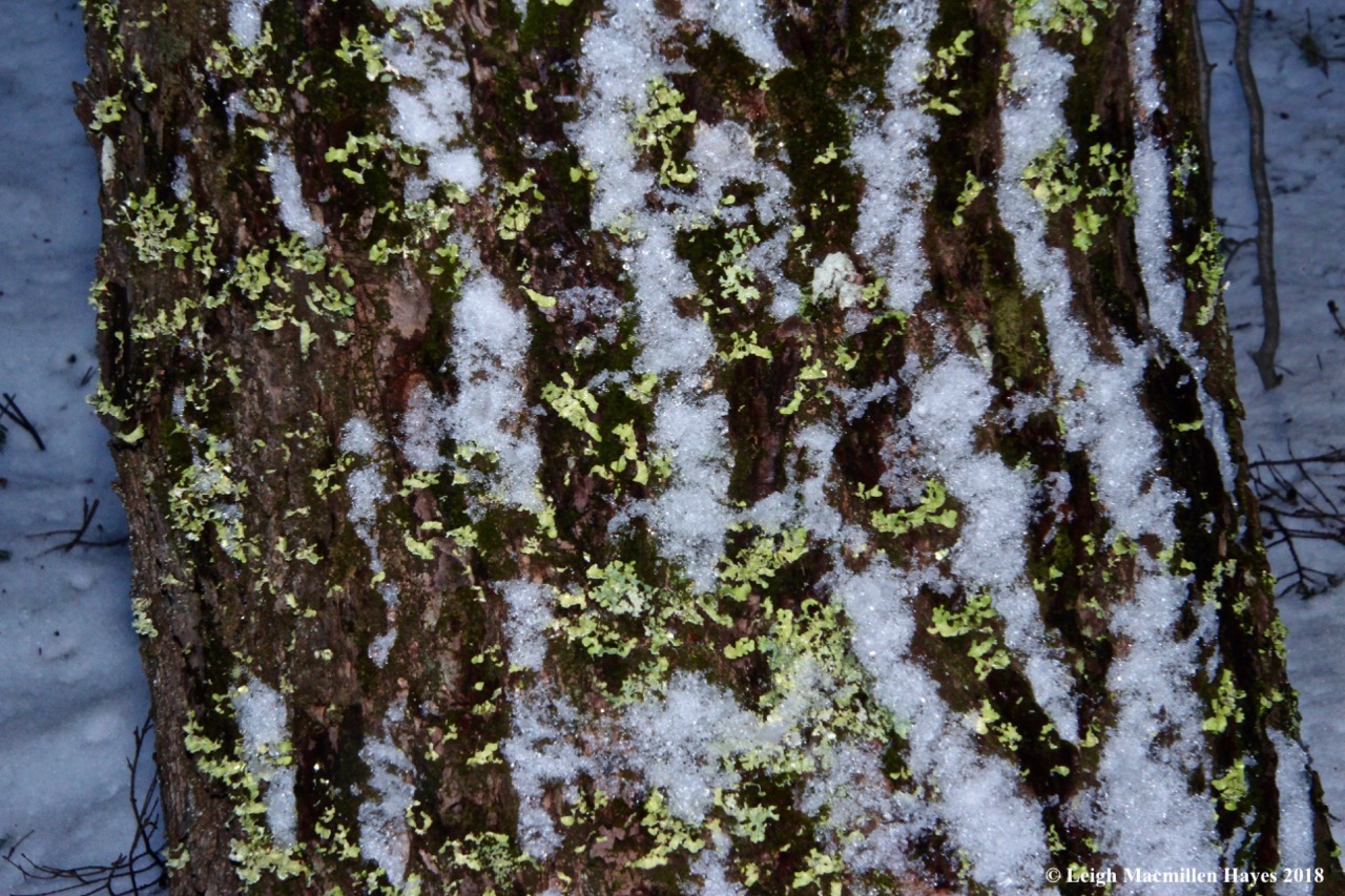 h21-snow and ribbon lichen