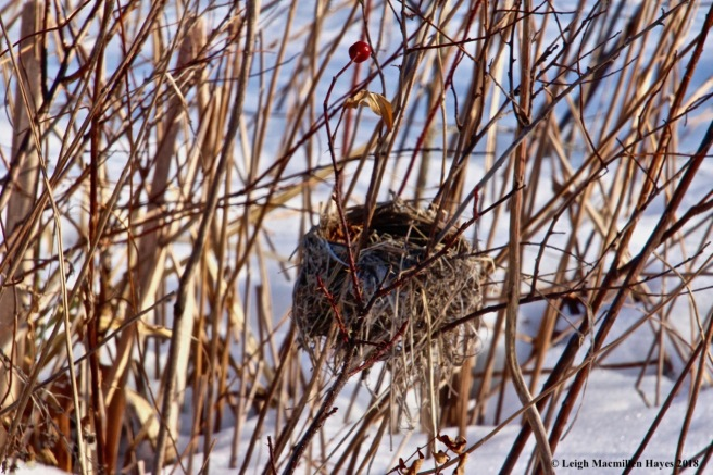 h31-yellow warbler nest
