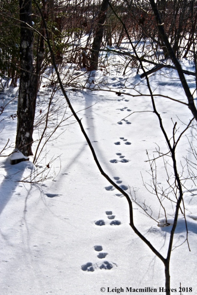 h6-snowshoe hare tracks