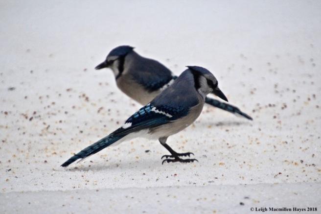 i-blue jays 1