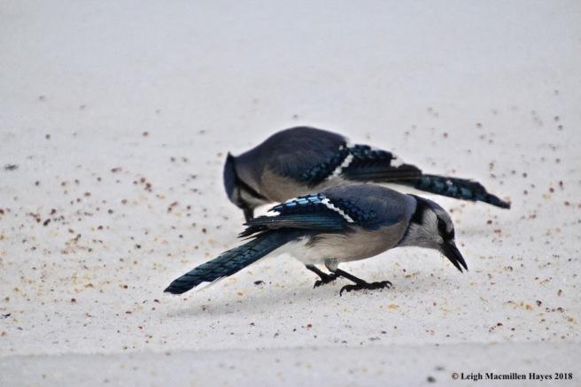 i-blue jays 2