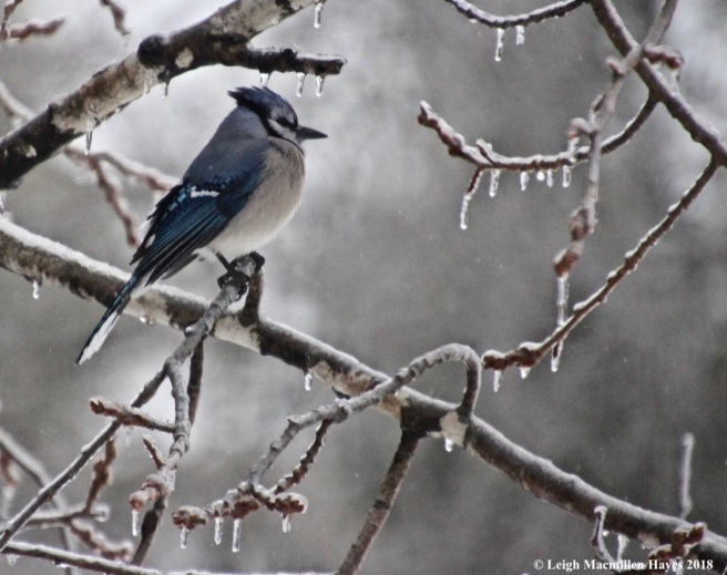 i-bluejays and icicles