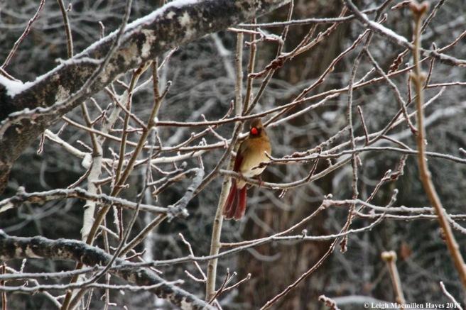 i-female cardinal