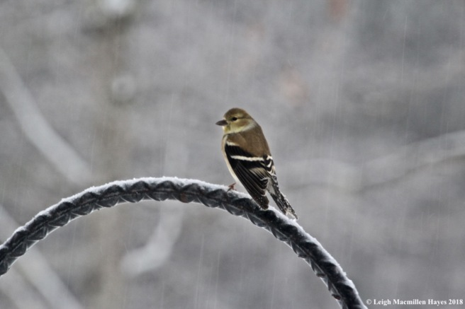 i-goldfinch1
