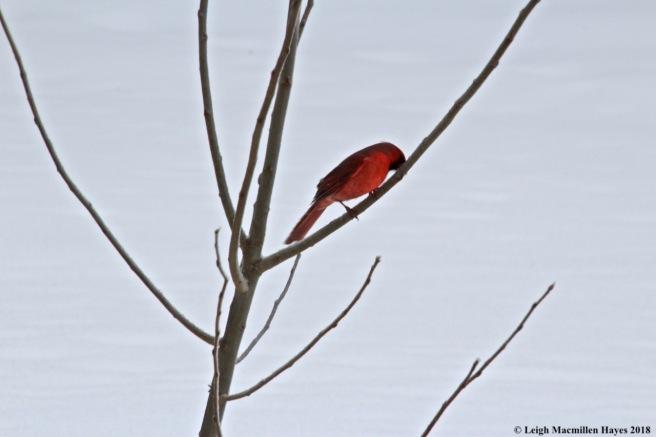 i-male cardinal