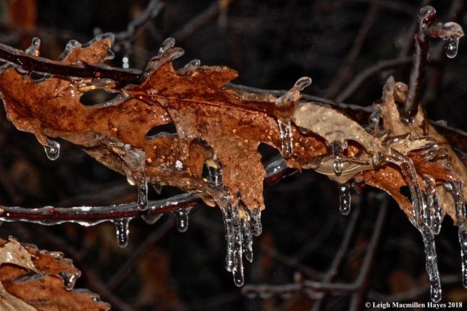 i-red oak 1