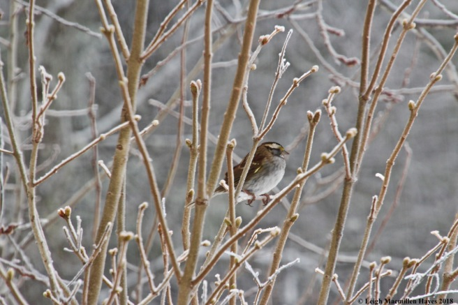 i-white-throated sparrow