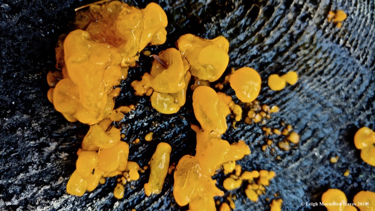 j11-witches butter fungi