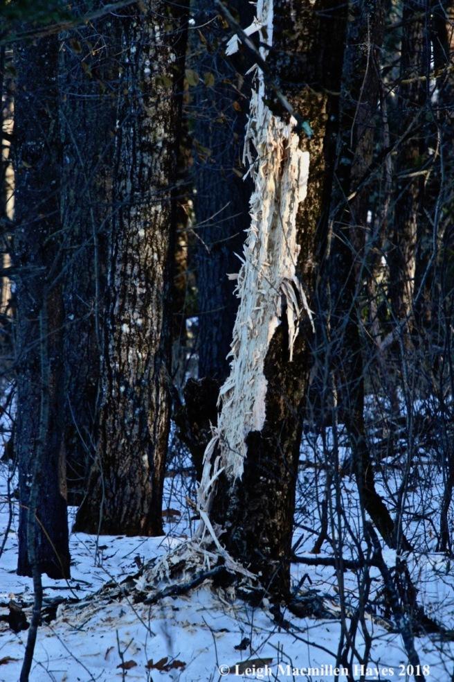 j17-pileated tree