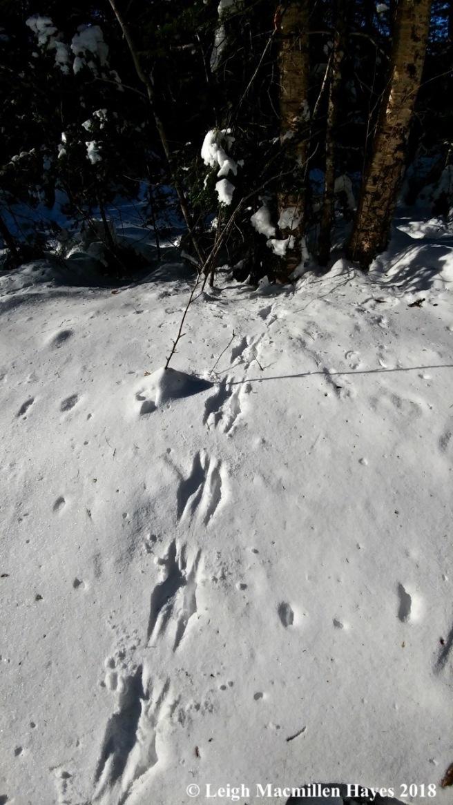 r11-squirrel tracks