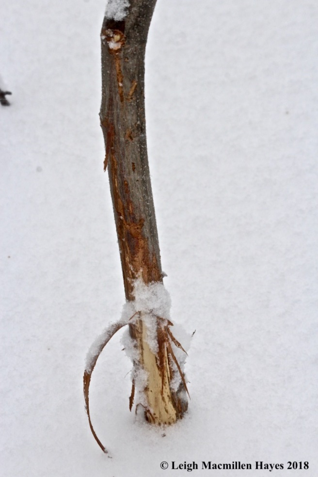 w-deer rub