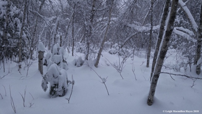 w-gray birch