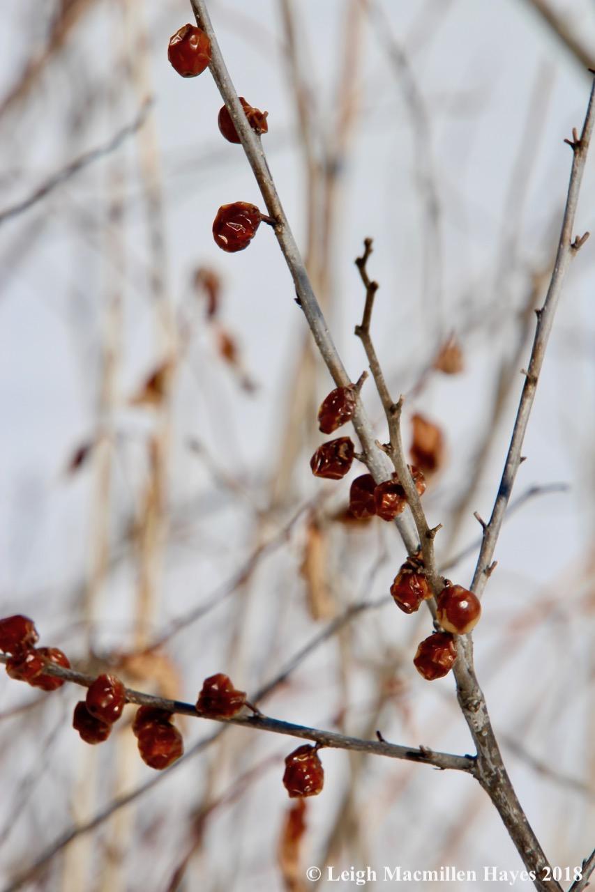 b12-winterberry