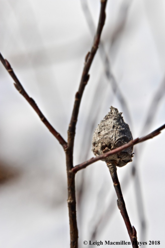 b14-willow gall