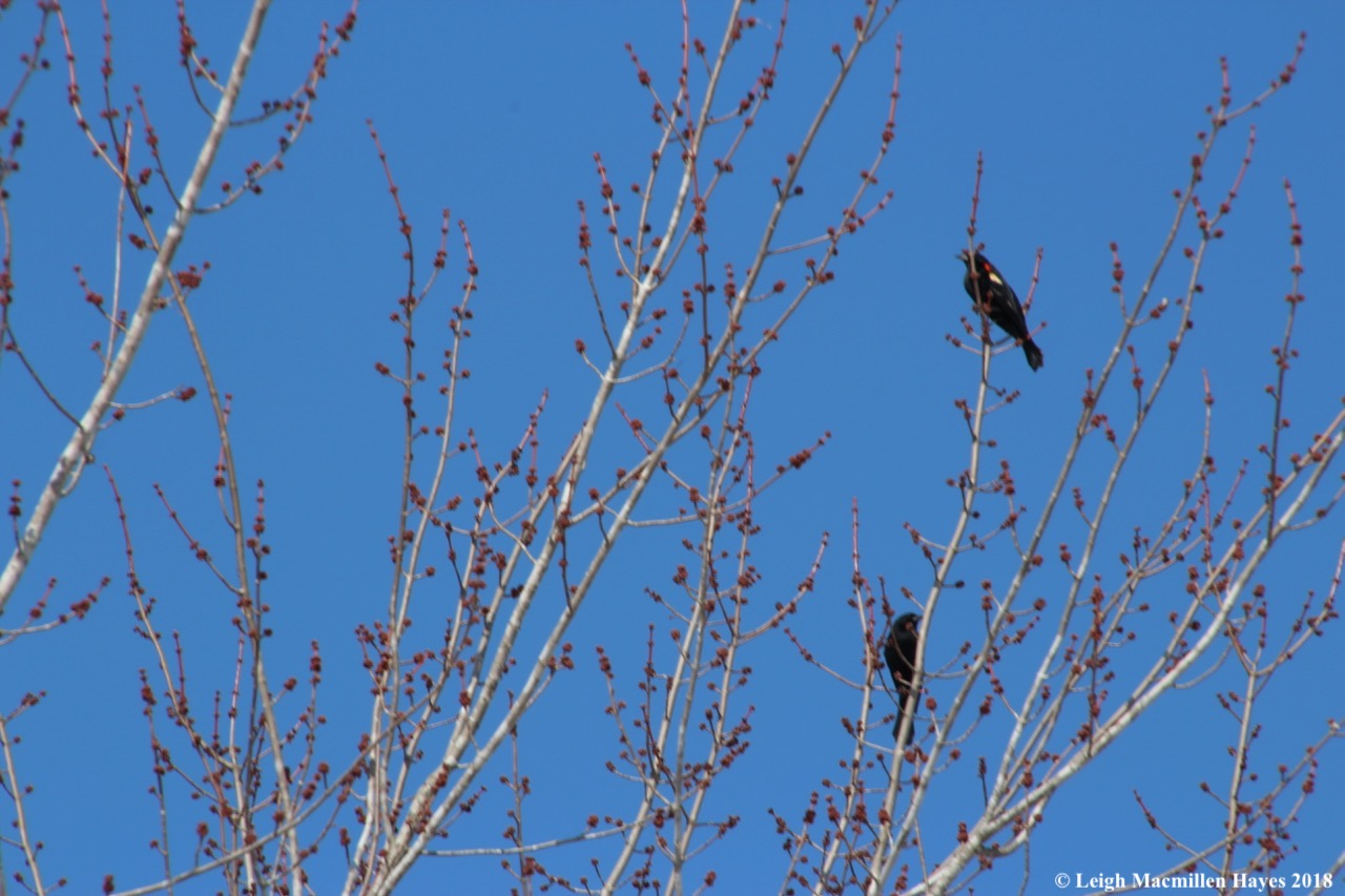 b4-red-winged blackbirds