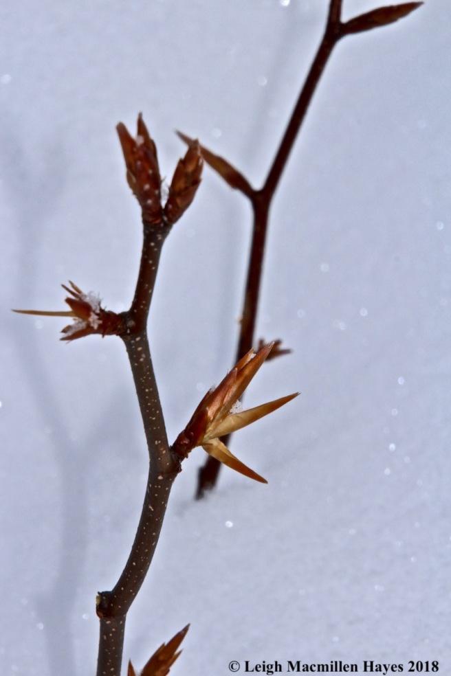 l-beech leaf 2