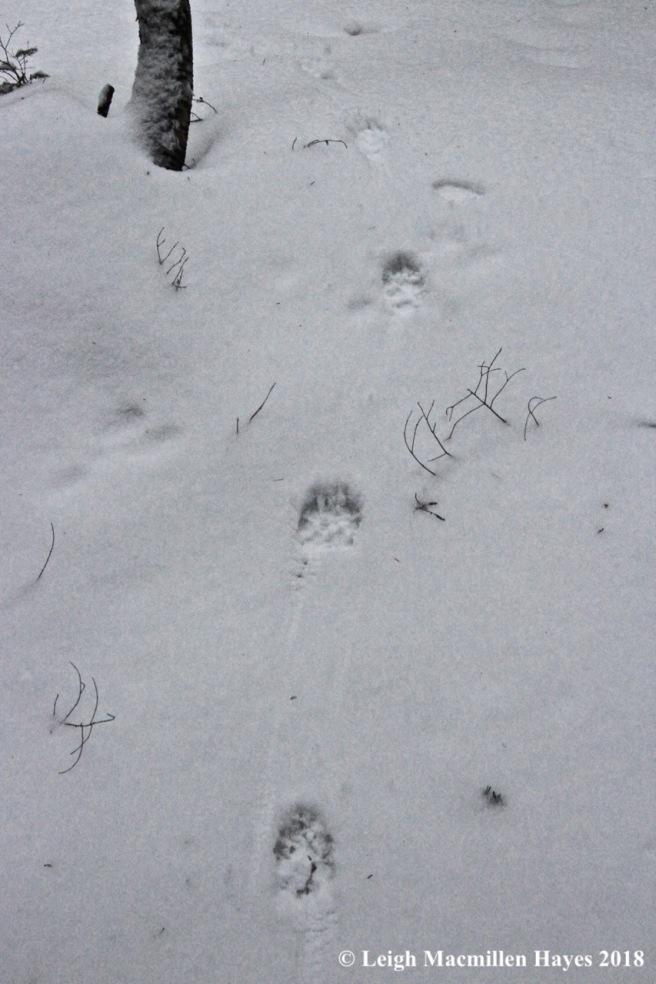 l-coyote track