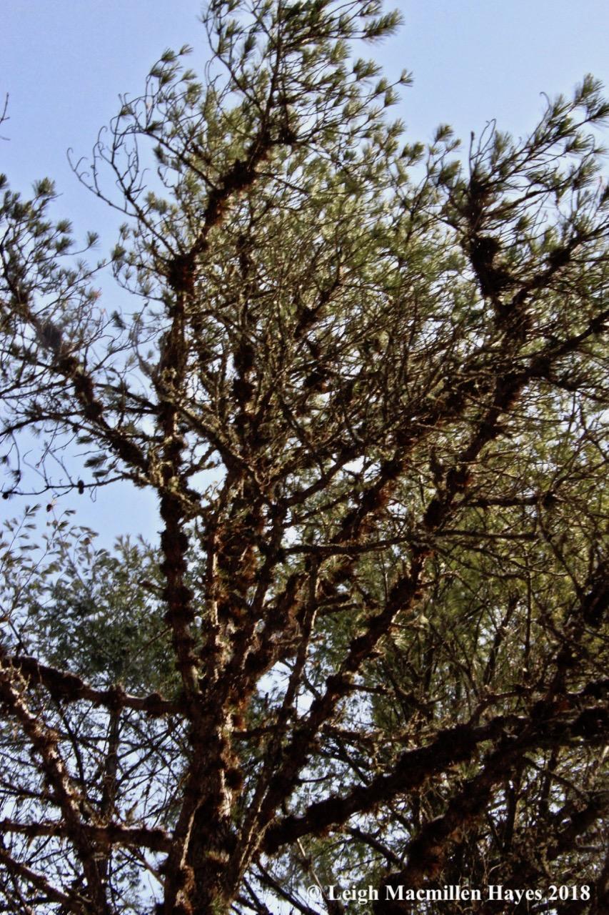 l-pitch pine 3