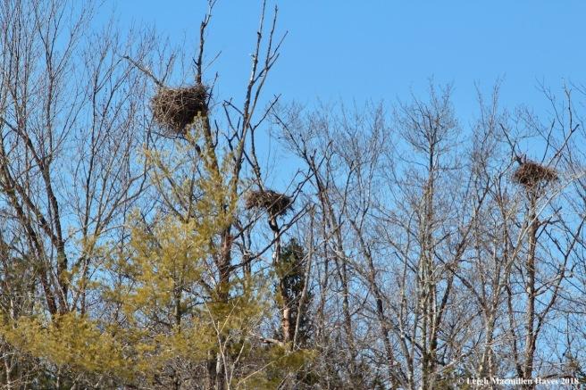 m11-heron nests