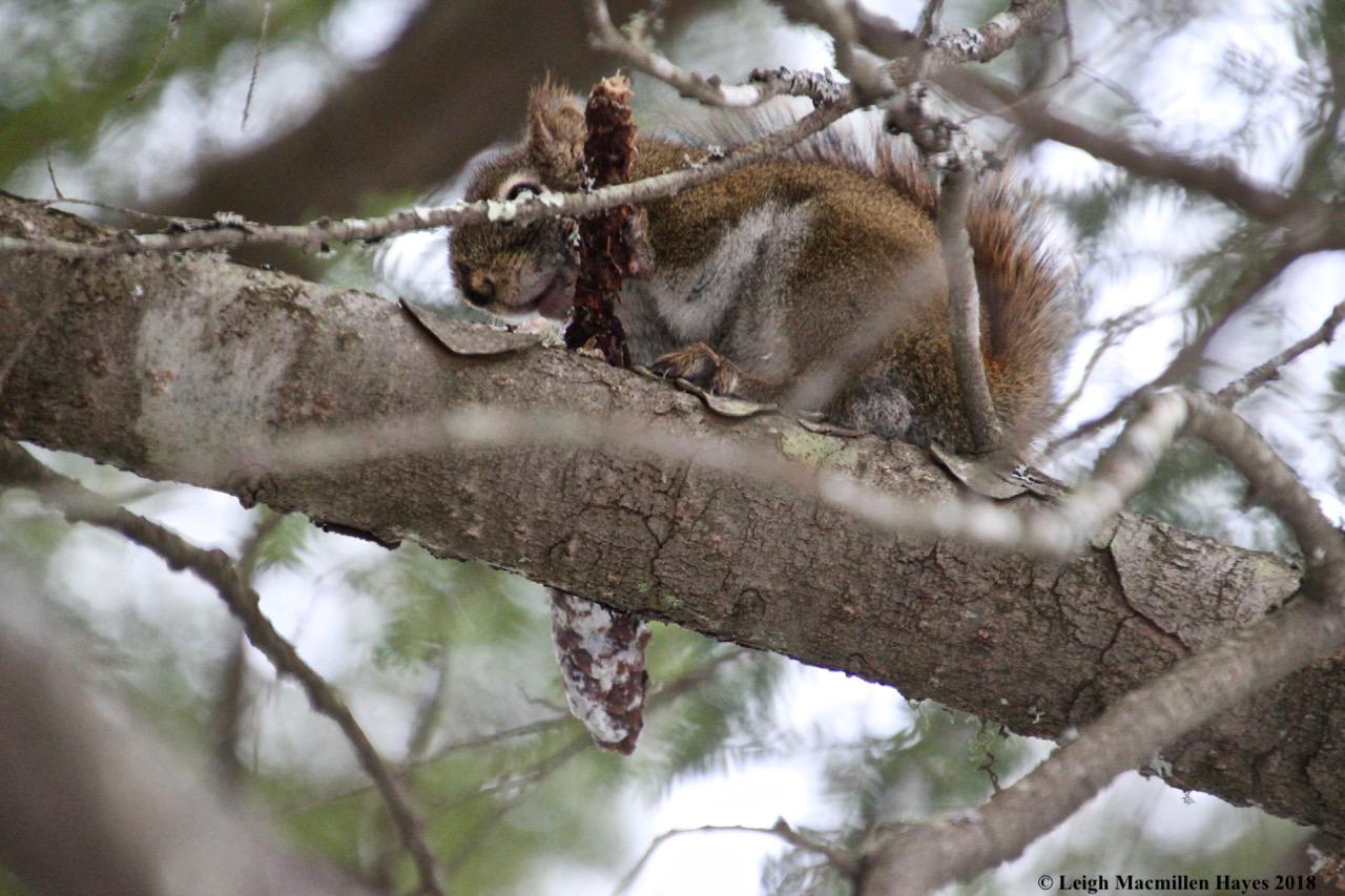 p-squirrel 3