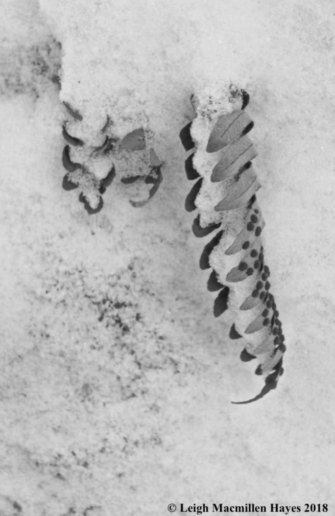 p12-polypody fern