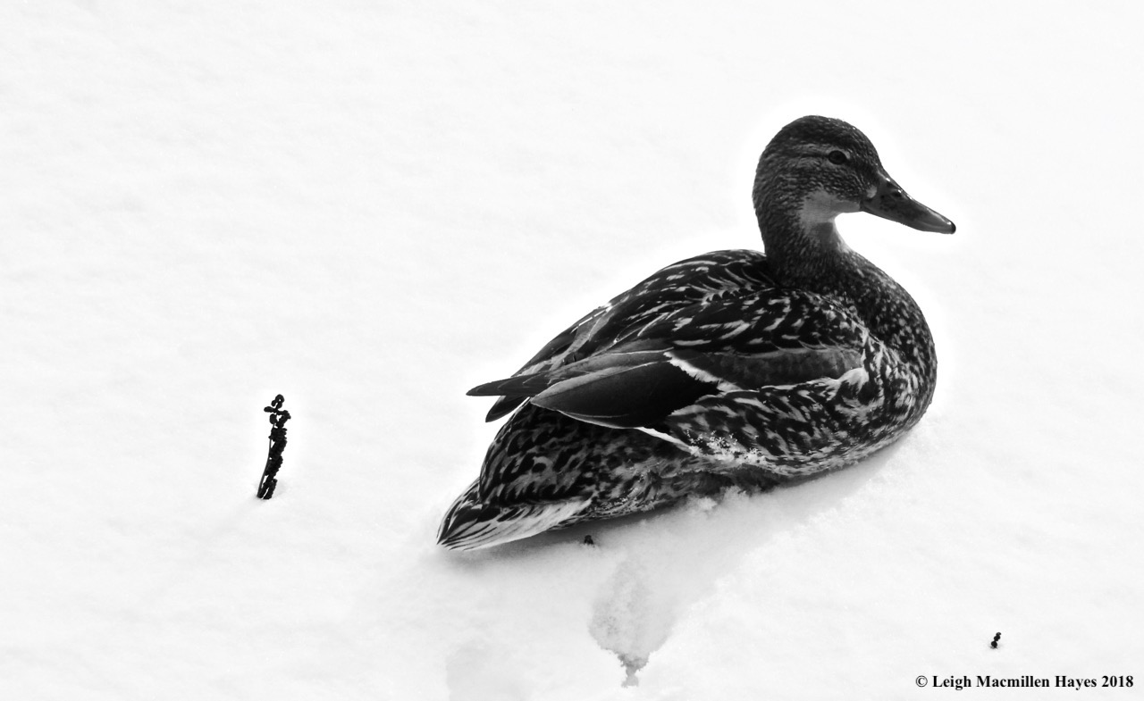 p16-male mallard on snow