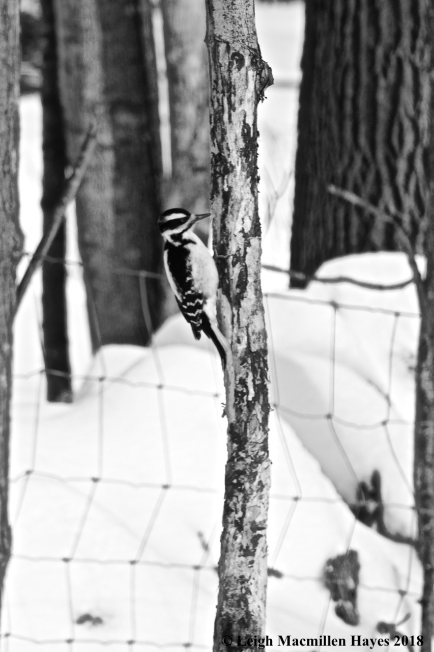 p3-hairy woodpecker