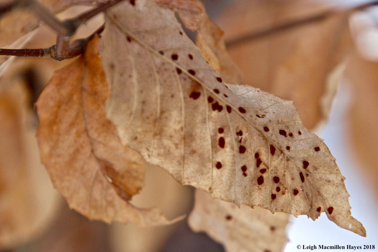 r12-maroon dots on beech leaves