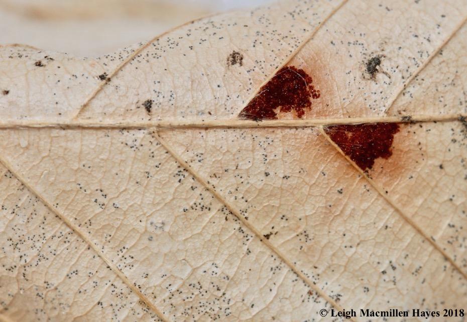 r13-maroon dots on beech leaves