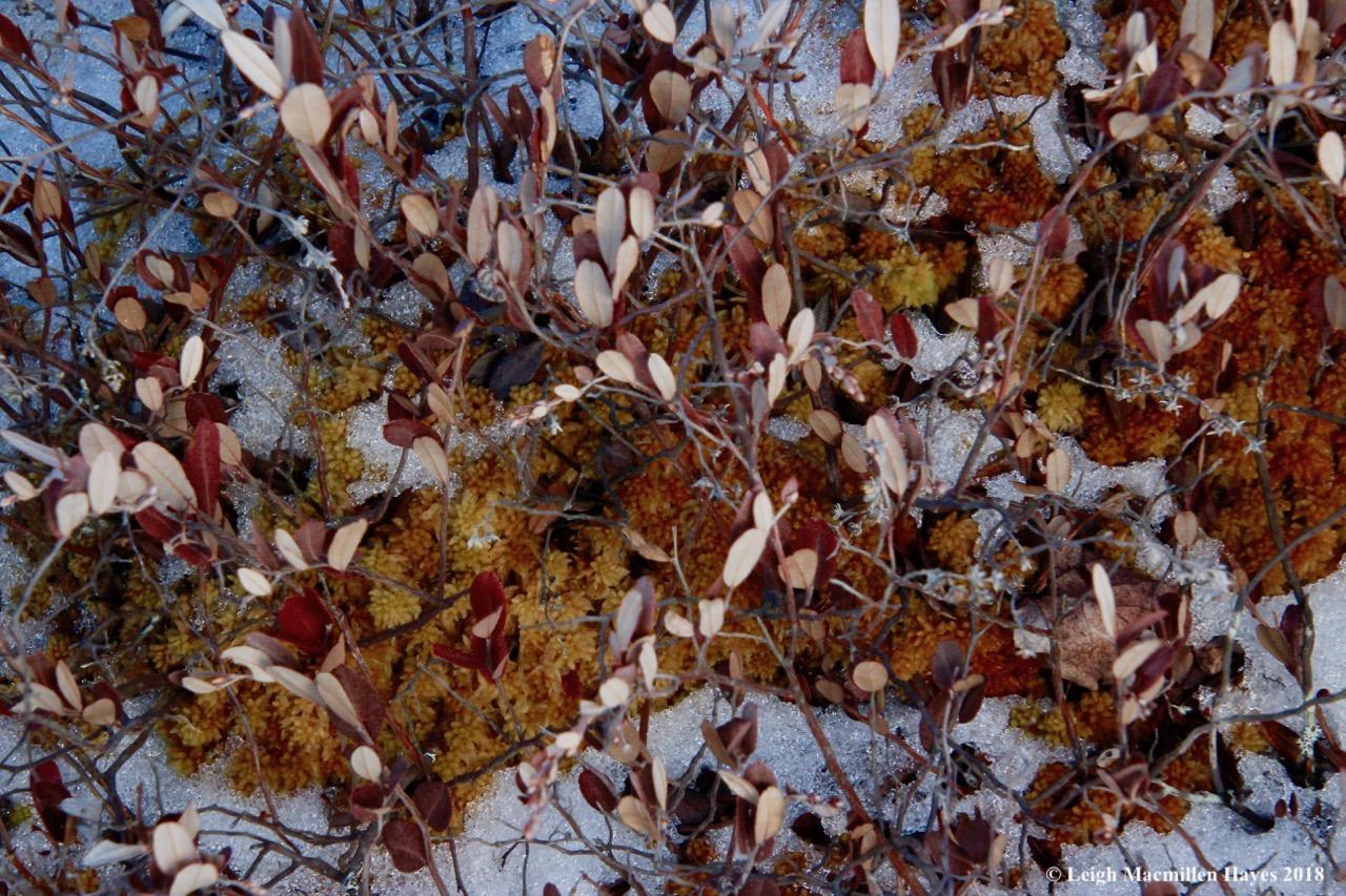 r2a-leatherleaf and sphagnum moss