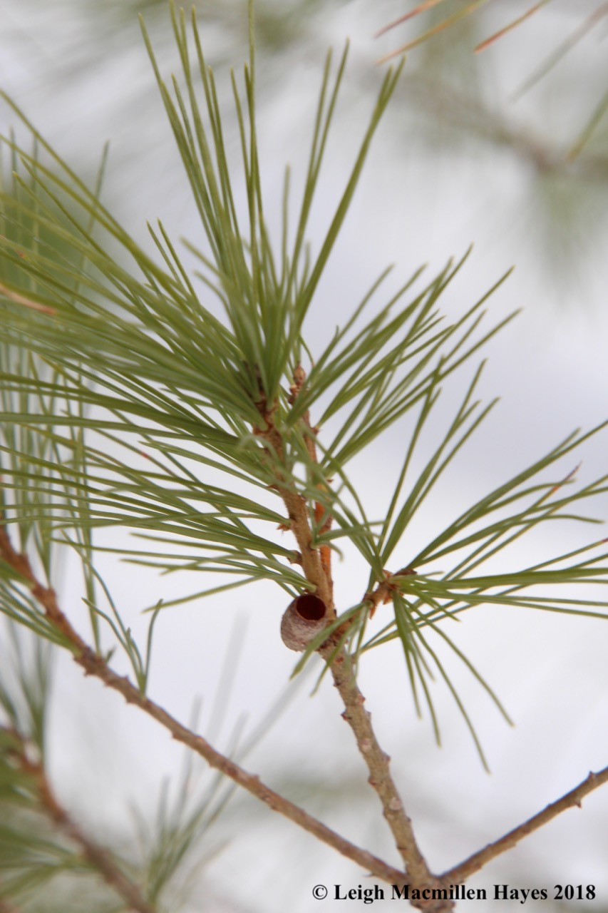 r7-Introduced Pine Sawfly pupal case
