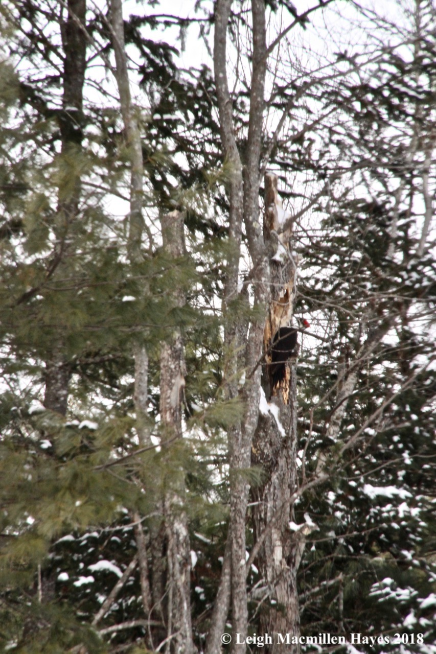 s14-pileated woodpecker