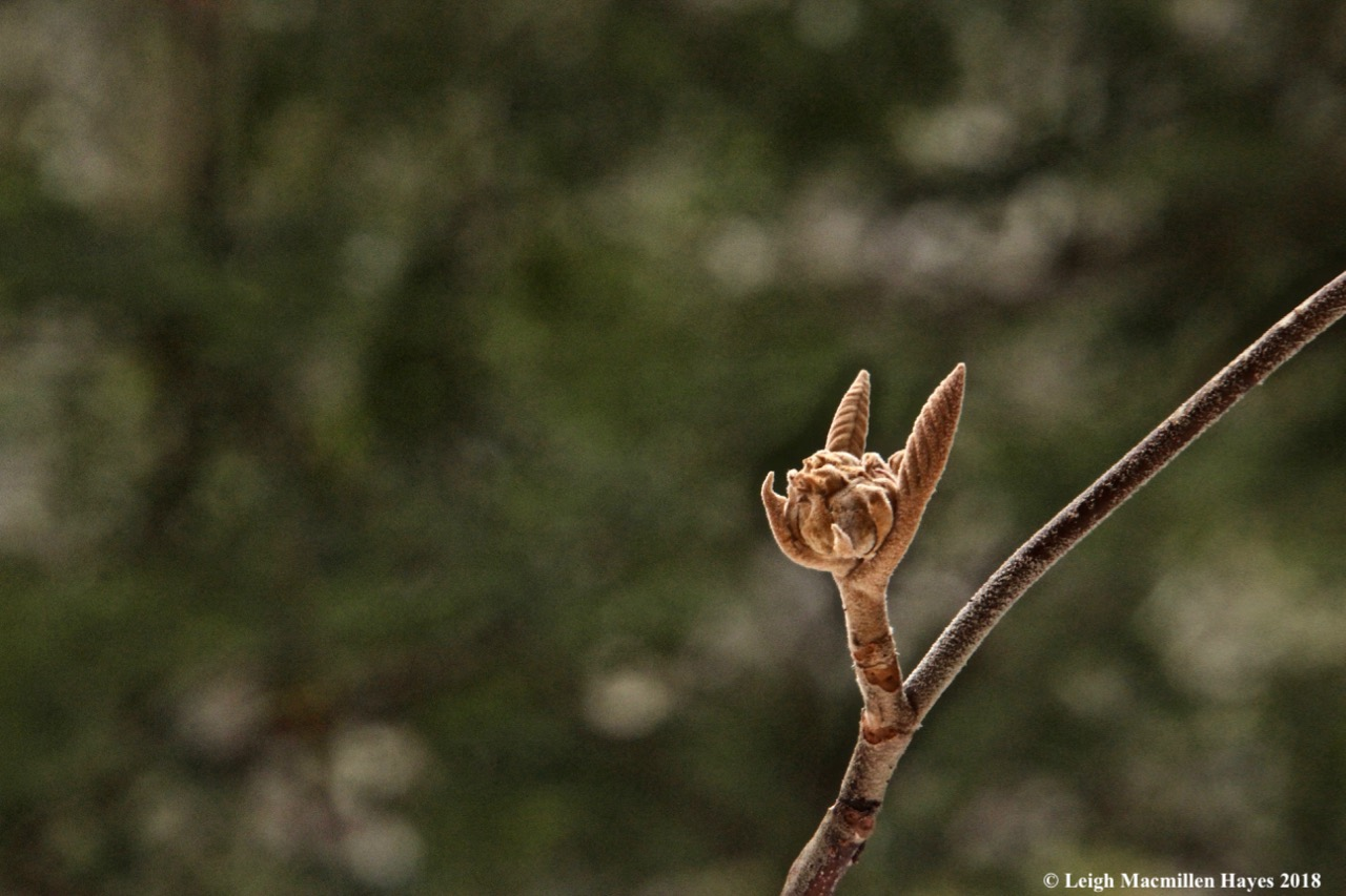 w-hobblebush flower and leaf buds