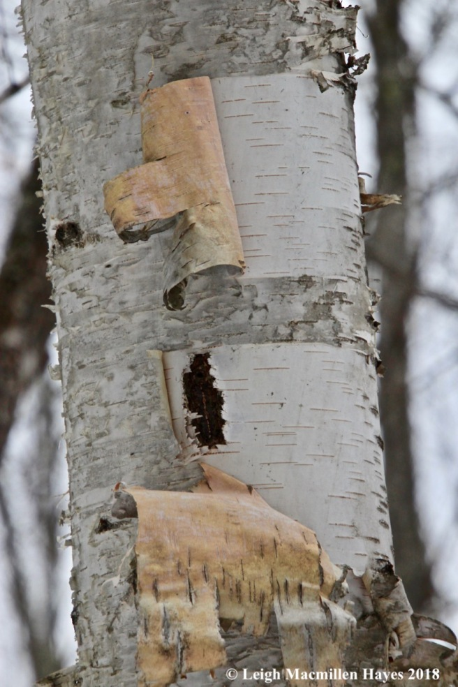 w-paper birch bark 1