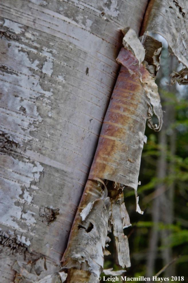 w-paper birch bark 2