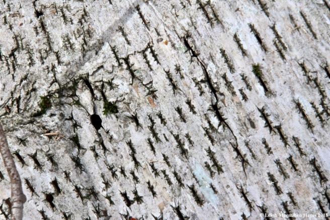 w-paper birch bark--stitchwork